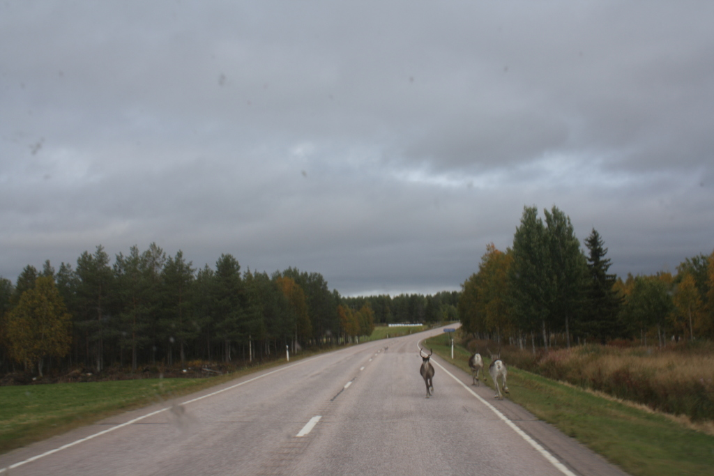 Typical road in Lapland. Vegetation on both sides, occasionally even reindeer on the road..